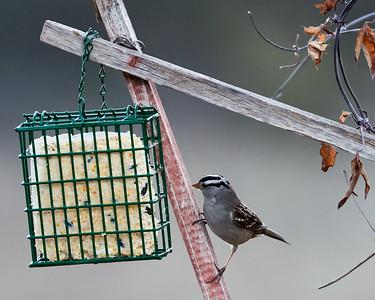 2017-12-19 • E-M1.2+300/4.0 PRO+MC-14 - Backyard Birds on Cage Suet Feeder