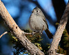 DSC05034 Juniper Titmouse_3351x2684