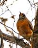 DSC07375 American Robin in Rain_1370x1712