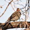 DSC07968 Northern Flicker_3300x3300