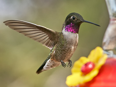2018-04-27 • A9+90/2.8 FE MACRO G OSS - IMBY • Hummingbirds • Stellar Jay?