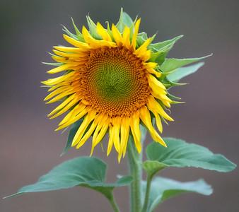 2018-10-02 • A9+100-400/4.5-5.6 FE GM OSS - Sunflower