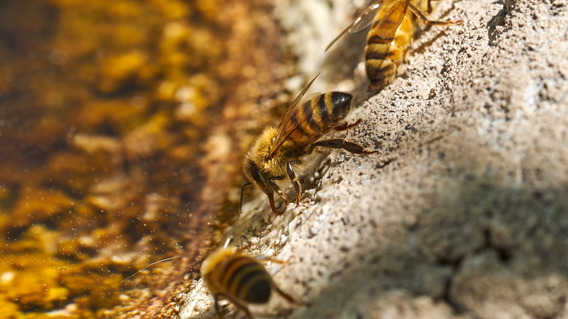 _5200706_Two Bees very detailed_start image for video_4608x2592