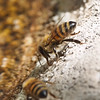 P5200707_Two Bees very detailed_shorter