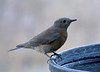 C0011_4_Female Western Bluebird_Screen Shot 2016-06-04 at 8 31 46 AM_1988x1432