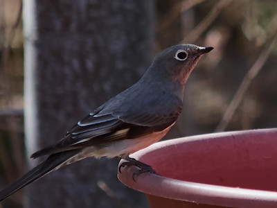 2013-03-05 • E-M5+Lens - Robins • Townsend's Solitaire