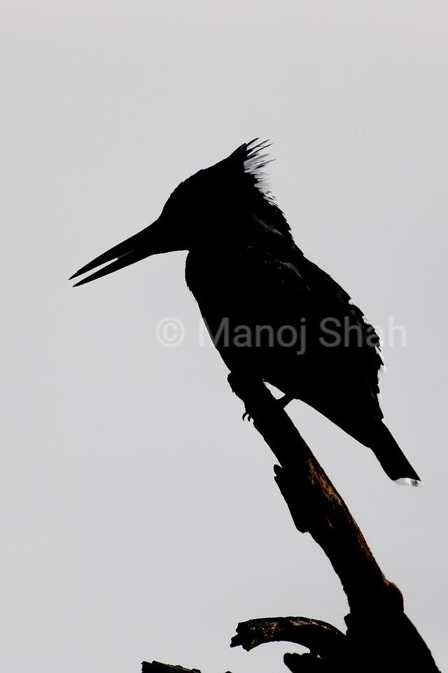 Pied Kingfisher sillouhette