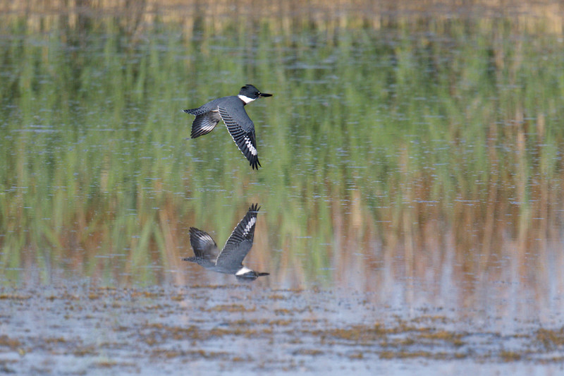 Belted Kingfisher flying over water with reflection • Eaton Marsh, Montezuma NWR, NY • 2019