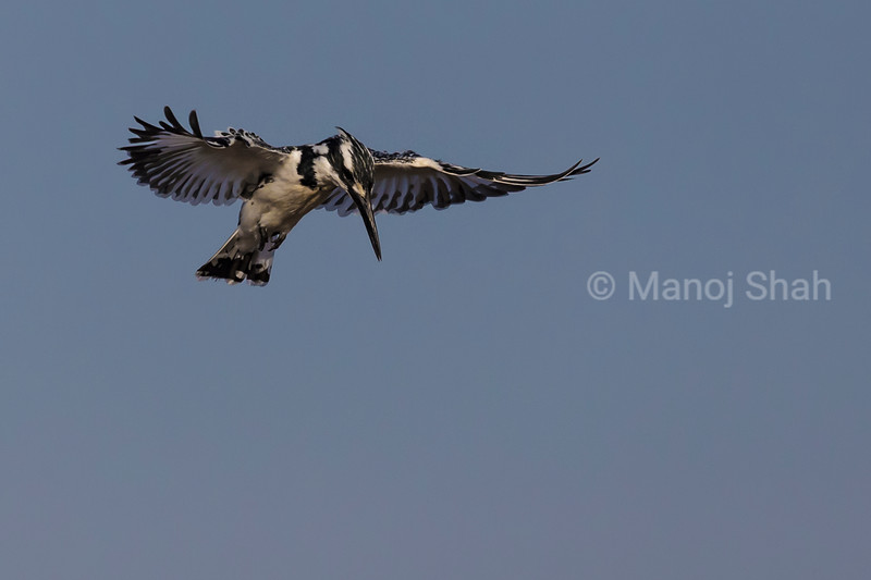 Pied Kimgfisher hovering over river water looking for prey.