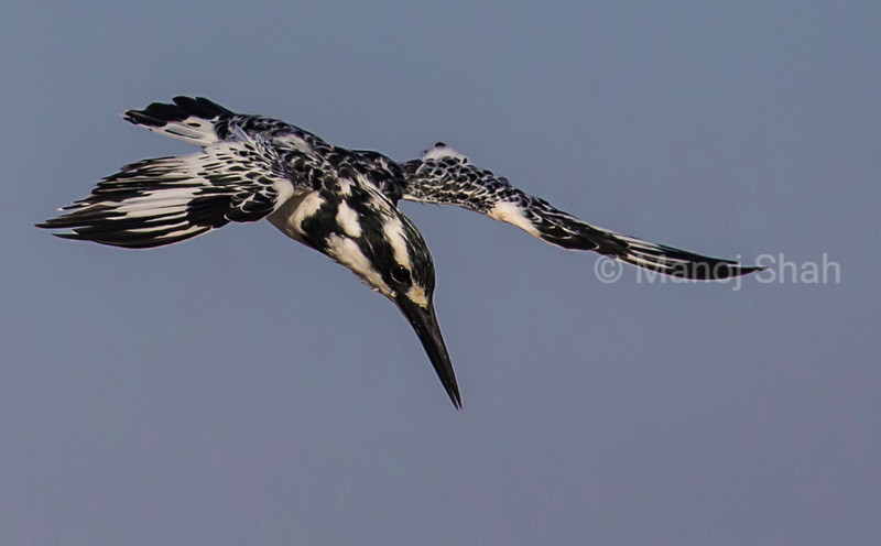 Pied Kingfisher hovering over river water looking for prey.