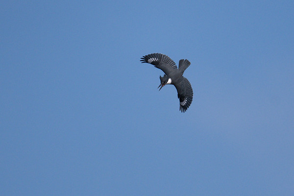 Belted Kingfisher dives with wings spread while calling • Eaton Marsh, Montezuma NWR, NY • 2019
