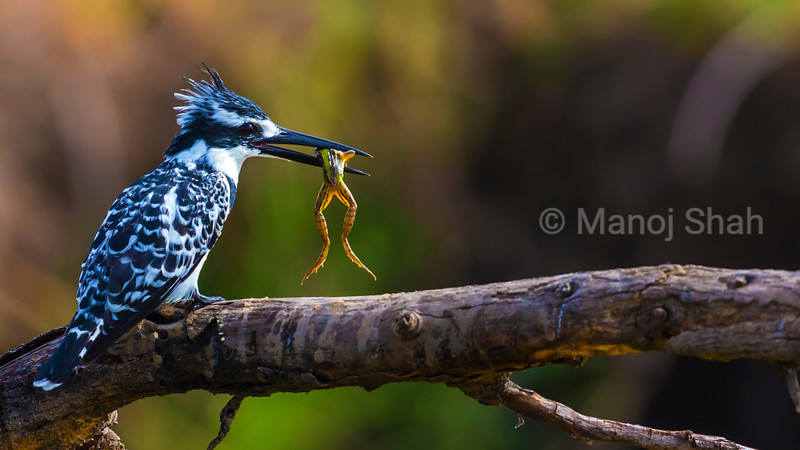 Pied Kingfisher with a frog catch in its beak