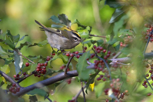 Golden-crowned Kinglet male poses among berries • Onondaga Lake West Shore Trail, Syracuse NY • 2020