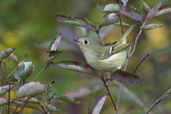 Ruby-crowned Kinglet on fall foliage, about to fly • South Spring Pool, Montezuma NWR, NY • 2020