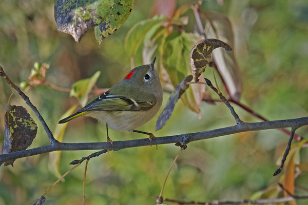 Ruby-crowned Kinglet male dsiplays red crown • Onondaga Lake West Shore Trail, Syracuse NY • 2020