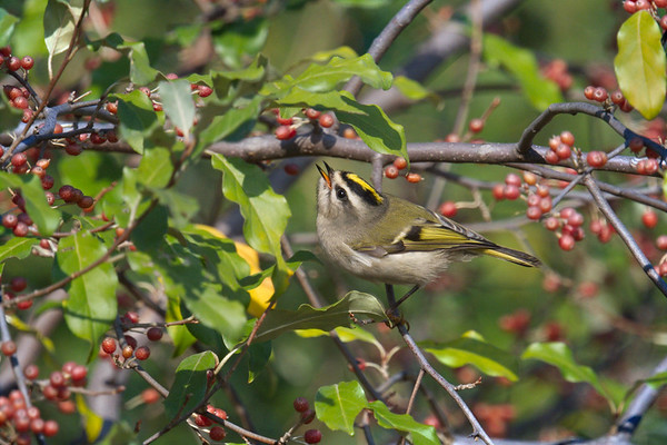 Golden-crowned Kinglet male calling among berries • Onondaga Lake West Shore Trail, Syracuse NY • 2020