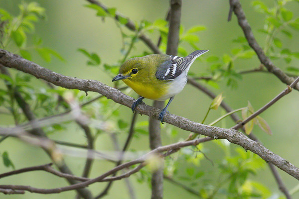Yellow-throated Vireo • Howland Island WMA, NY • 2018