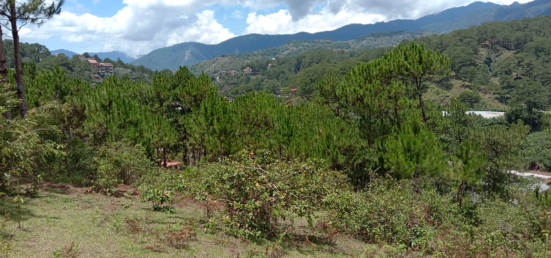 View of the forest section. I bet you are surprised to  see PINE TREES in the Philippines