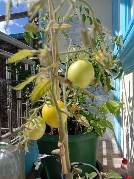 Wild growing tomato