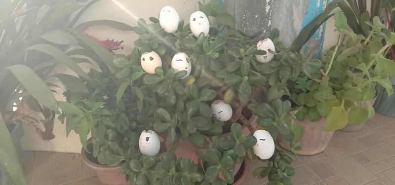 Jade (egg plant)