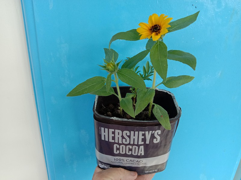 Chocolate Flavored Sunflowers