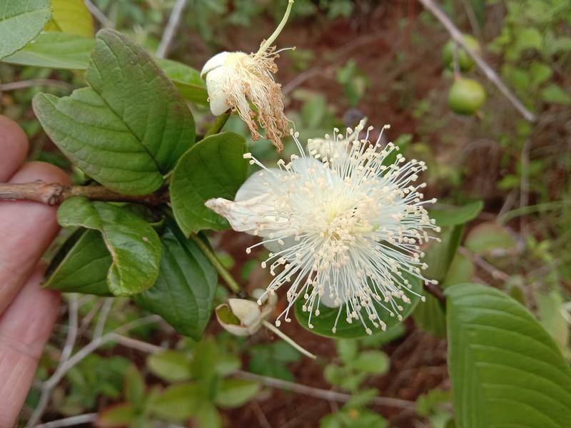 Guava flower blossom