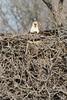 img_20130429_30268_nesting_eagle_on_bailey_lake_facing_c2