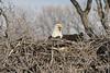 img_20130429_30277_Nesting_Eagle_on_Bailey_Lake_c