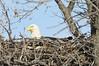 img_20130429_30298_Nesting_Eagle_on_Bailey_Lake_closer_side_c