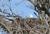 IMG_20130429_30314_Nesting_Eagle_on_Bailey_Lake_c