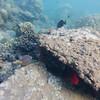 White spotted Boxfish