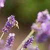 Sunlit Bee on Lavender