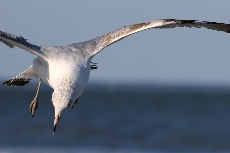 Ring-Billed Gull Hovering Over North Carolina coast, NC