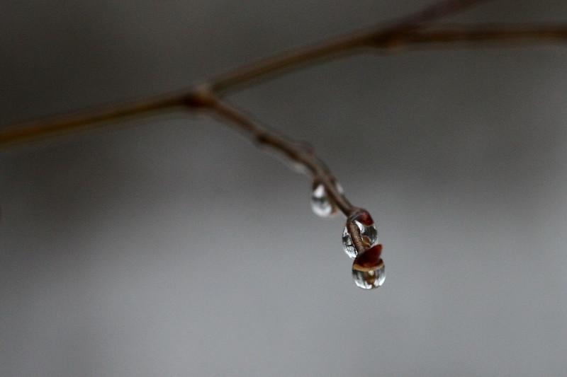 Rain Drops on Branch