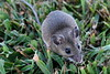 Field Mouse in Grass