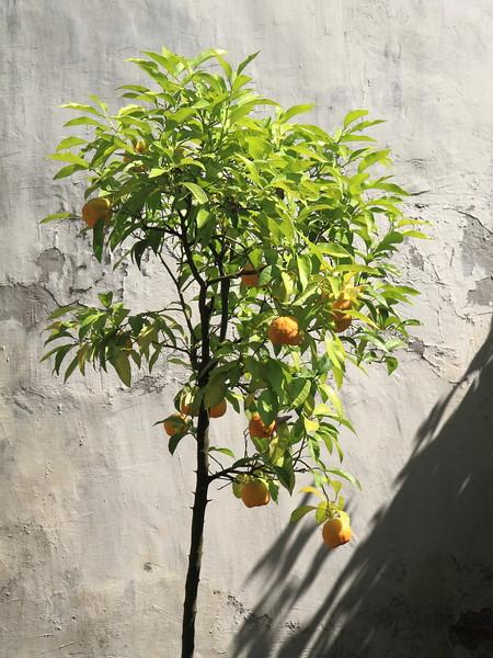 Orange Tree Villa Borghese Garden, Rome Italy