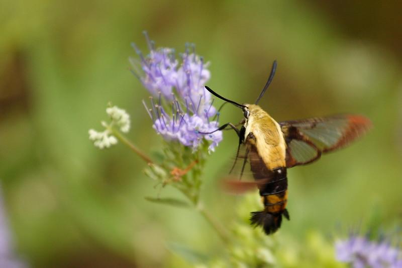 Snowberry Moth on Butterfly Bush