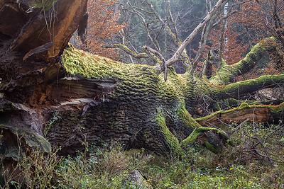 Dąb, Quercus 001