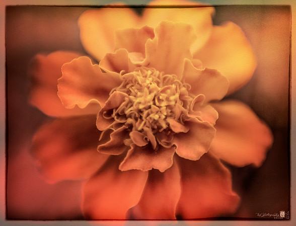 1607_Marigold_028OPt