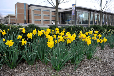 Daffodils in front of Science