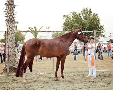 KWPN 15 Gamebria DG 9529