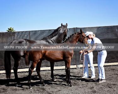 KWPN 19 Odessa DG 3762