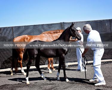 KWPN 19 Olabria DG 3824