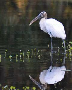 Woodstork reflected