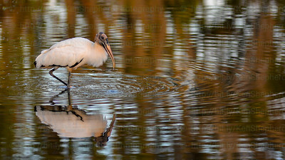 Woodstork with ripples