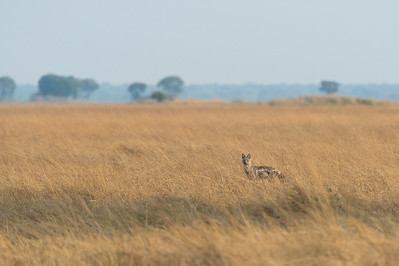 Side-striped jackal, Busanga Plains, Kafue