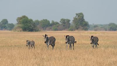 Zebra, Busanga Plains, Kafue