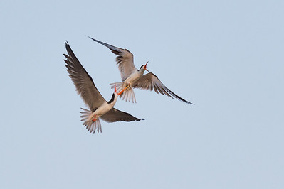 African skimmers, Kafue River