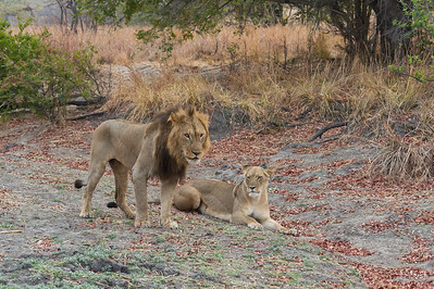 Lion and lioness, Kafue