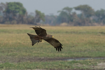 Yellow-billed kite, Busanga Plains, Kafue